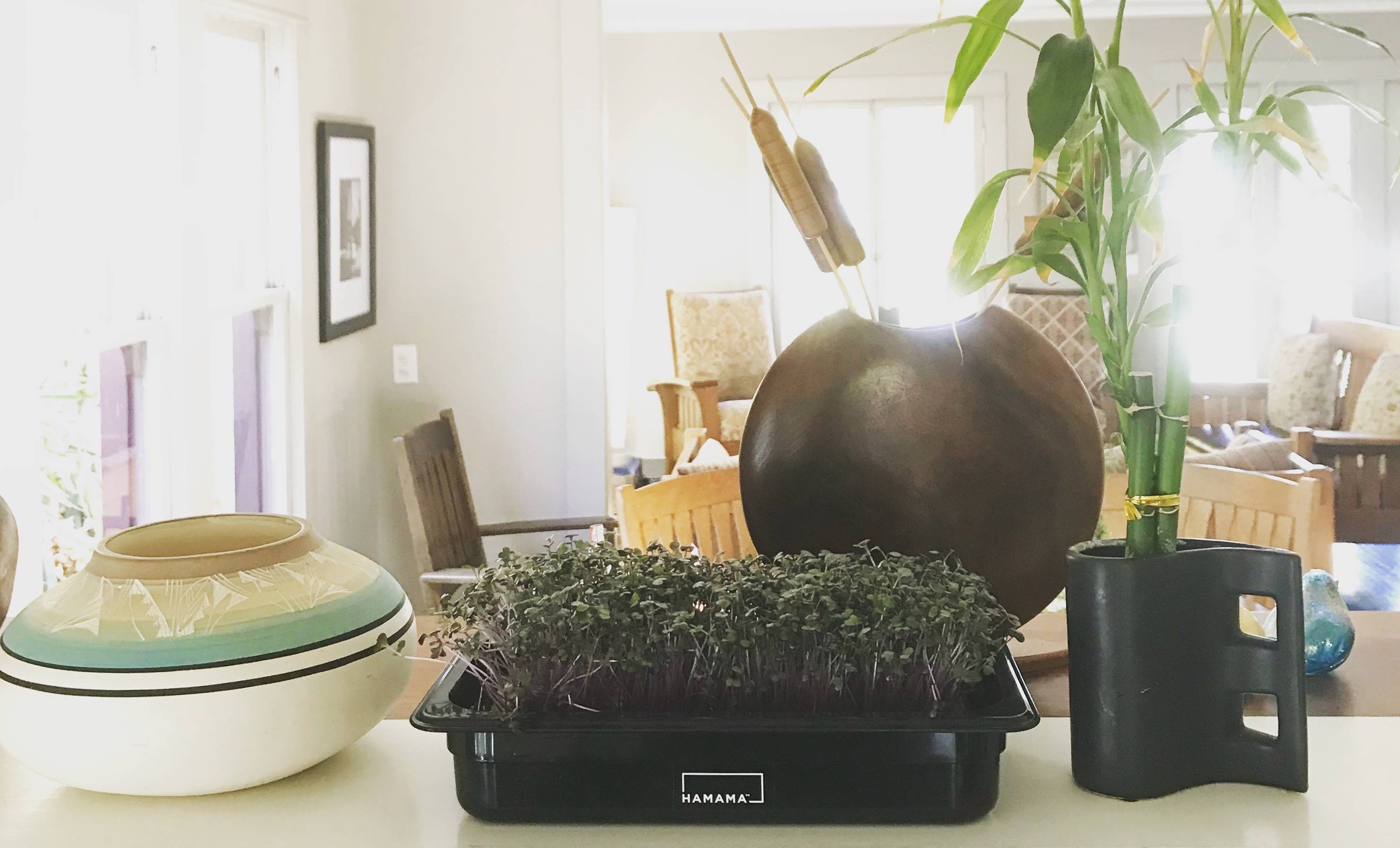 Fully grown red cabbage microgreens on a countertop in the living room of a house.