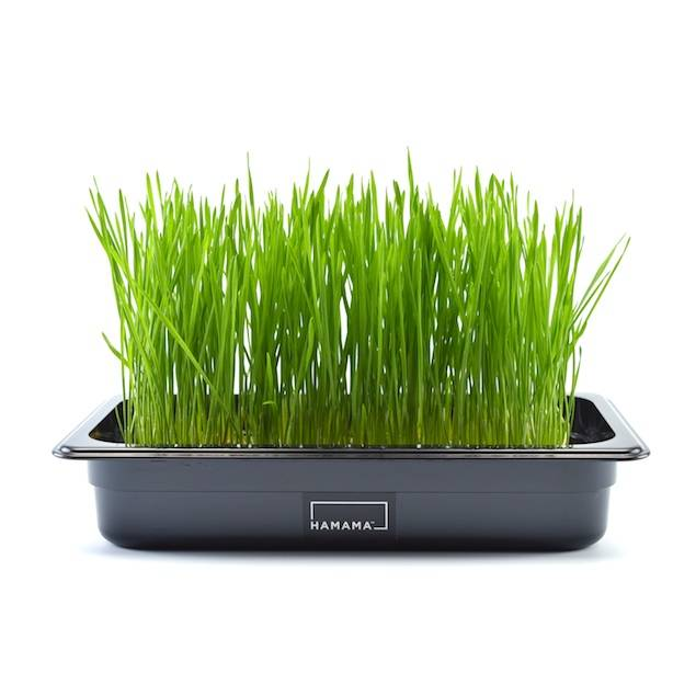 Microgreen kit growing wheatgrass.