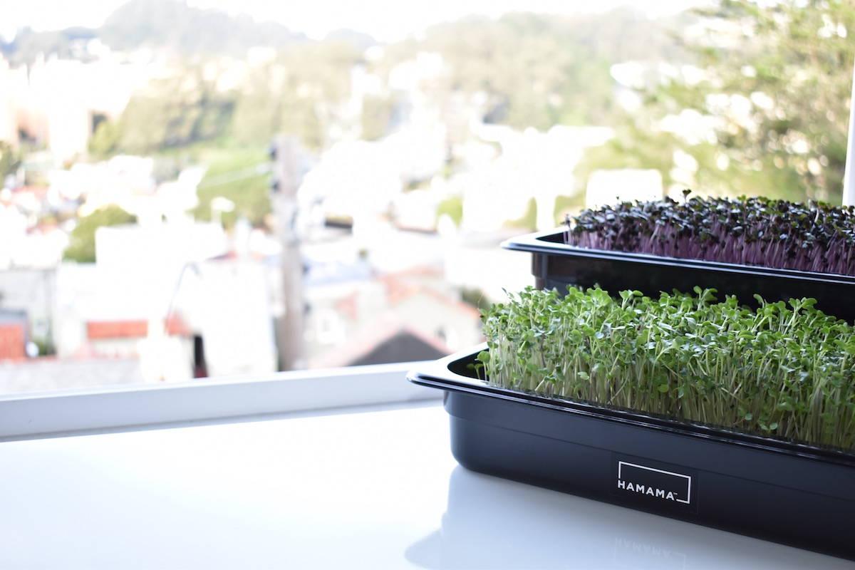 Microgreen kits on countertop growing microgreens and micro herbs.