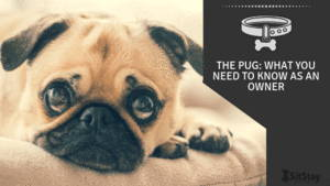 The Pug: What You Need To Know As An Owner