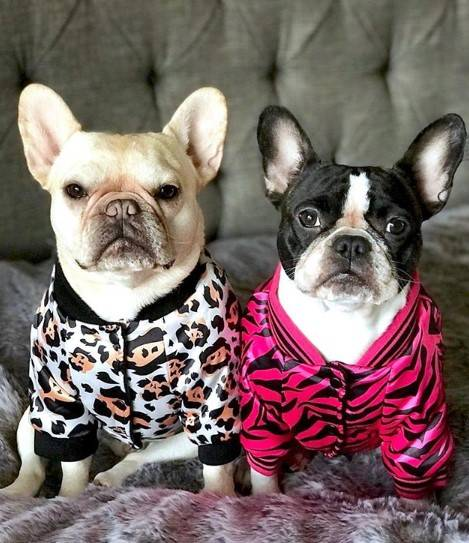 Frenchies Wearing the Zebra Polar Fleece Bomber Jacket  and Leopard Polar Fleece Bomber Jacket