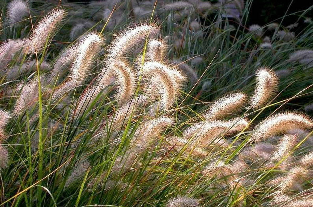 cassian-fountain-grass