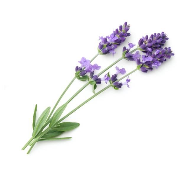 Arzneipflanze des Jahres 2020: Multitalent Lavendel
