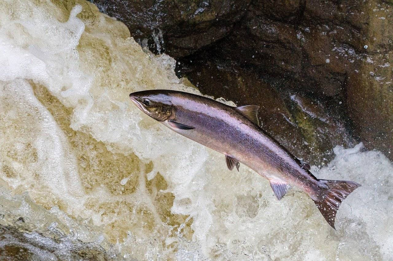 A salmon leaps out of the water up stream