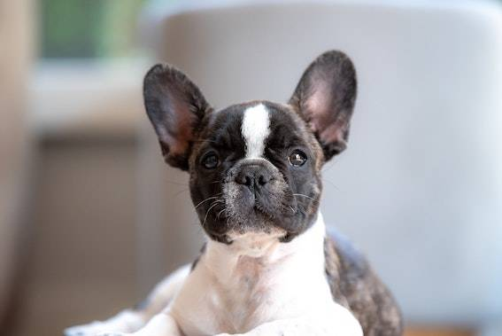 brindle and white french bulldog close up