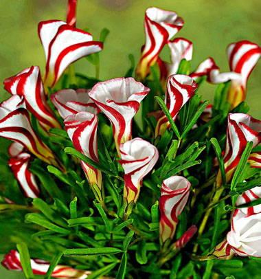 Oxalis versicolor / Sucre d'orge