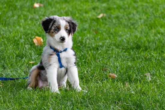 Australian Shepherd with a blue harness sitting in a grass field