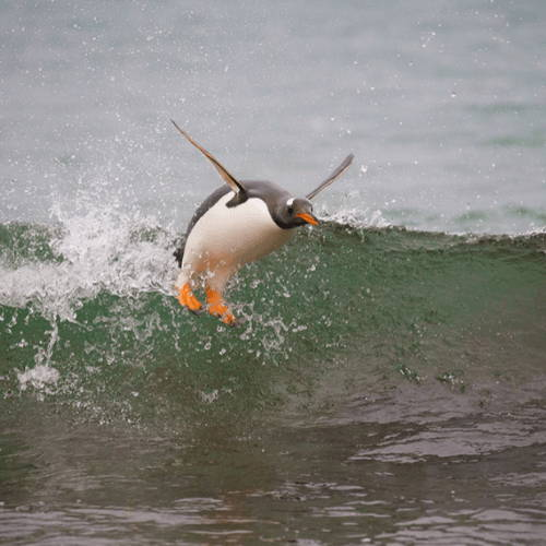 Real Cody Maverick Surfing Penguin