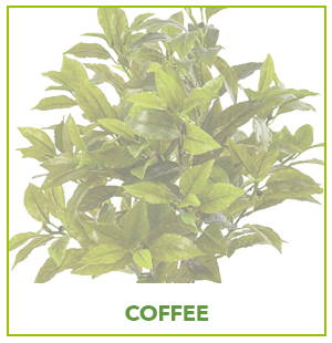 ARTIFICIAL COFFEE PLANTS