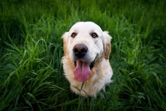 A golden retriever standing in the grass