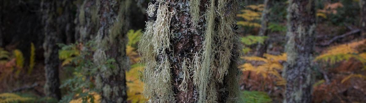 A close up image of moss on trees in an ancient woodland