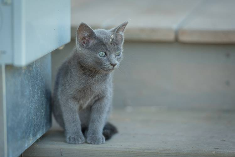 20 Russian Blue Cat Facts Petventuresbook