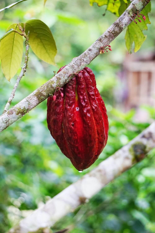 Les bienfaits du cacao