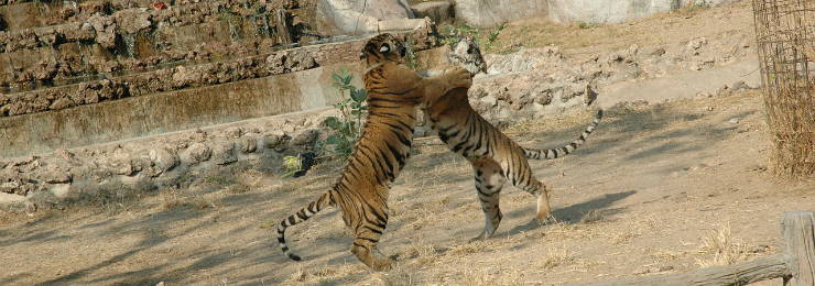 Witness some Tigers Wrestling in the Tiger Kingdom in Chiang Mai