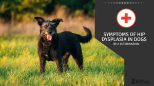 Symptoms of Hip Dysplasia in Dogs by A Veterinarian