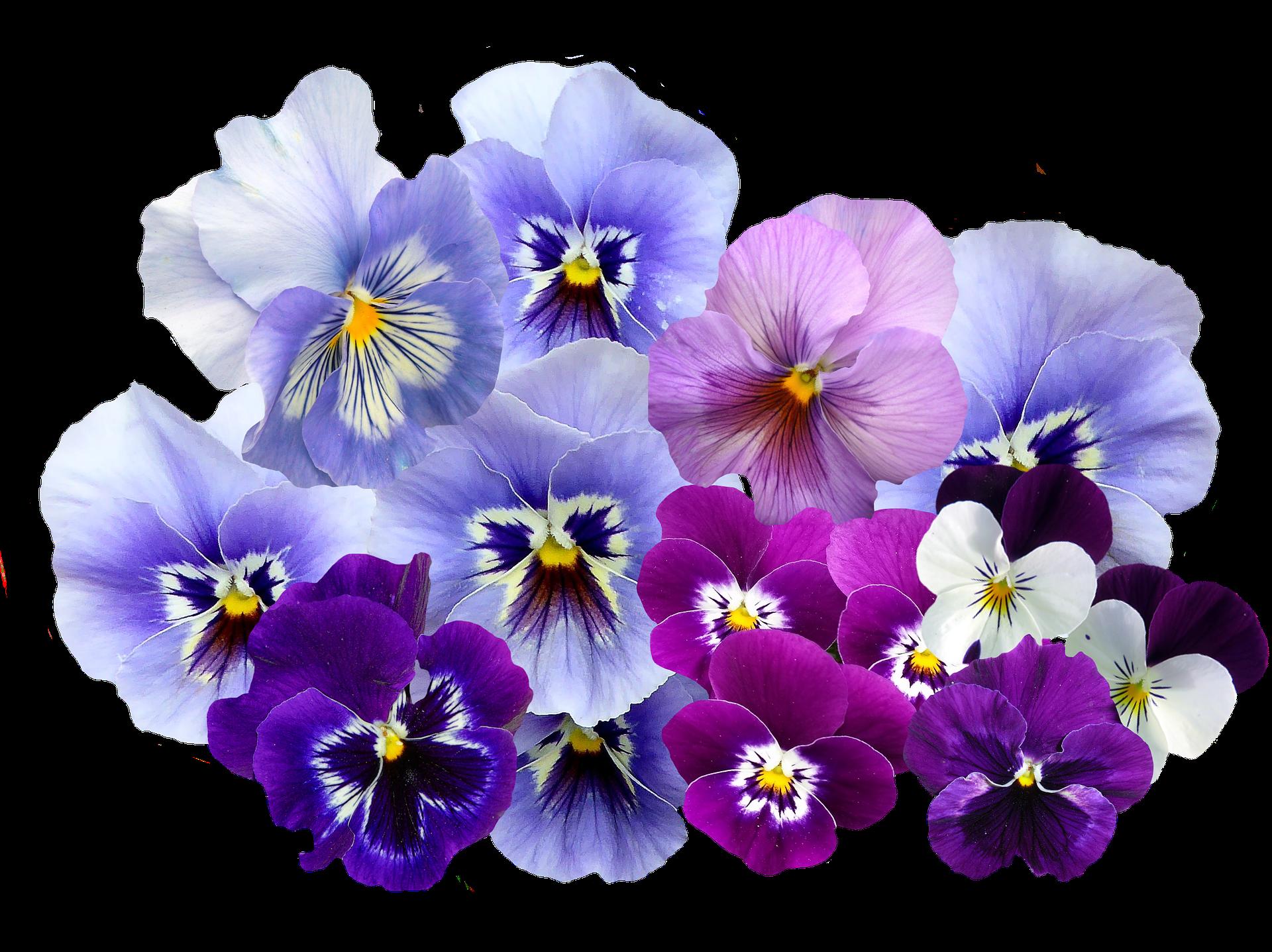 viola fiori da balcone