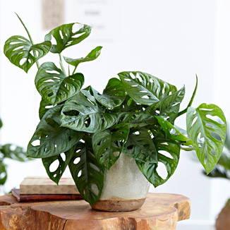 Monstera of 'Gatenplant'