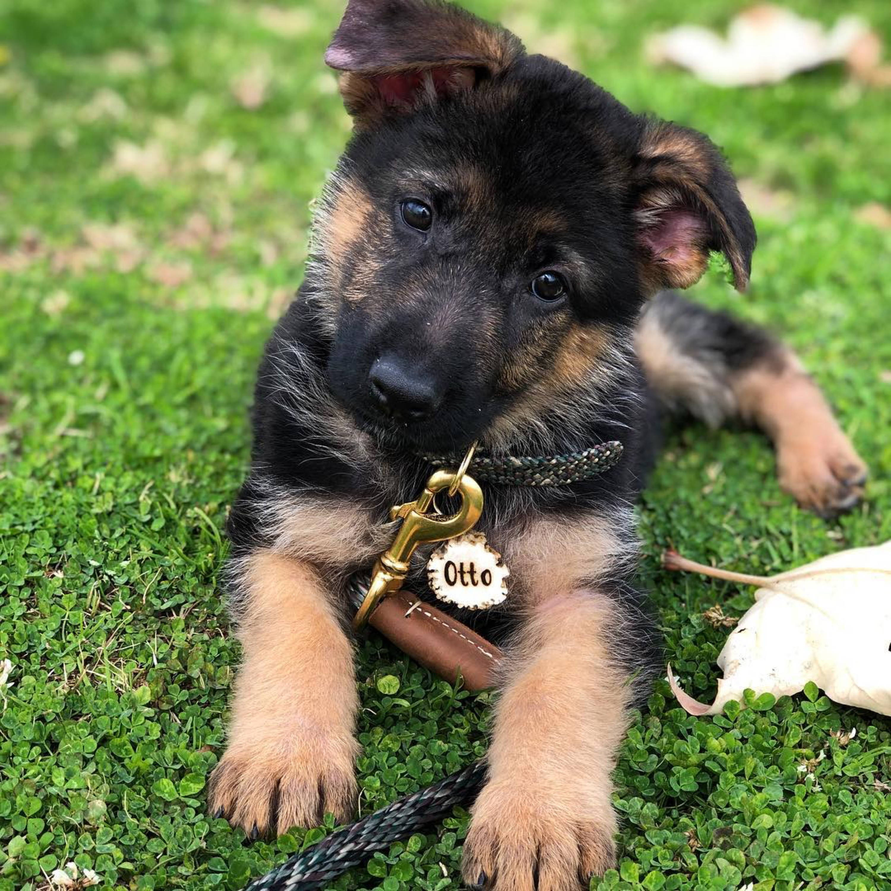 cute german shepherd puppy head tilt