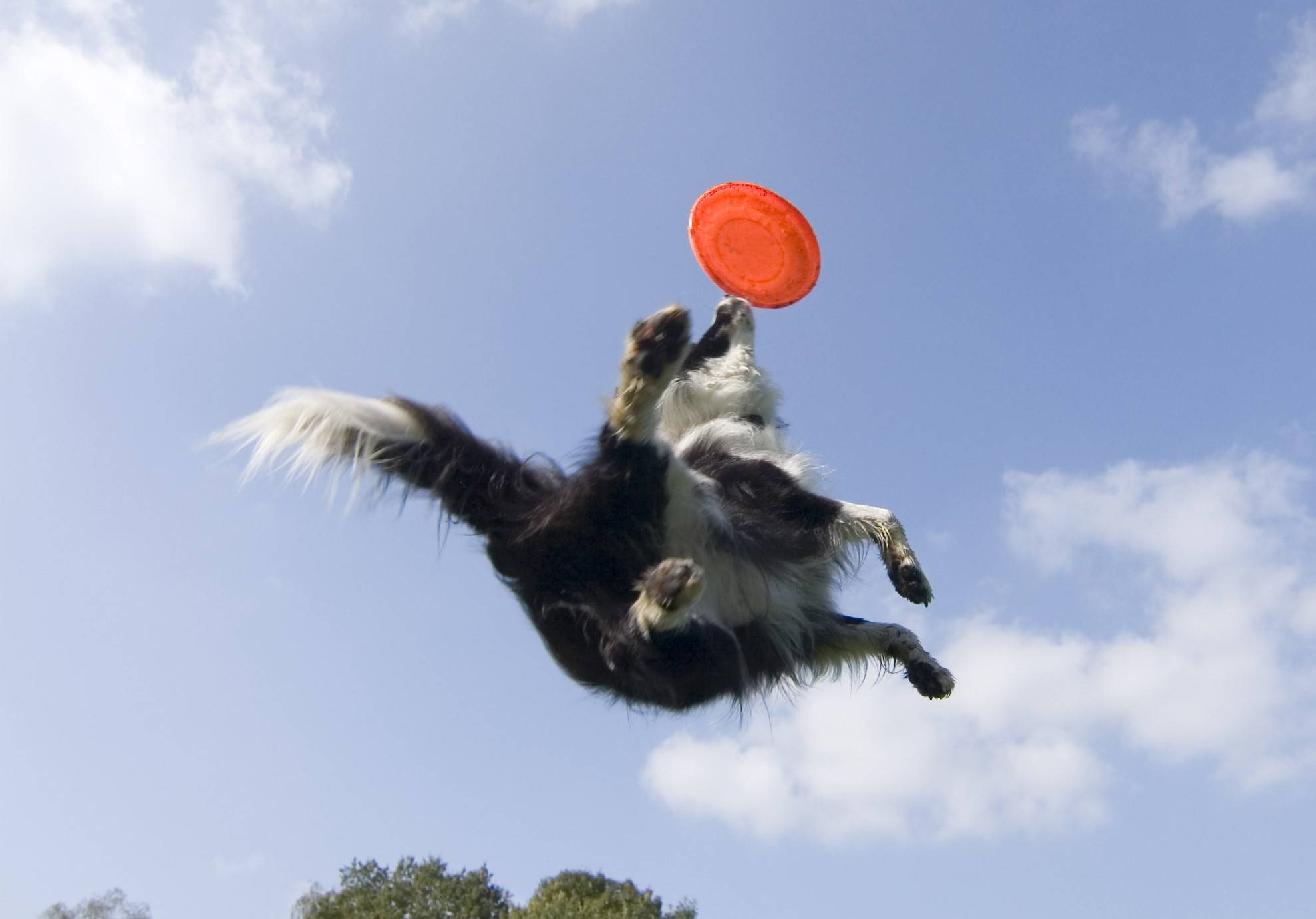 A collie dog jumping for a frisbee