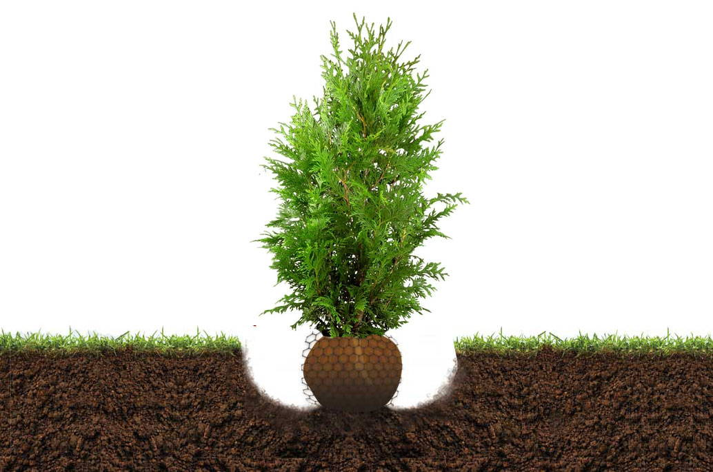 how to plant evergreen trees