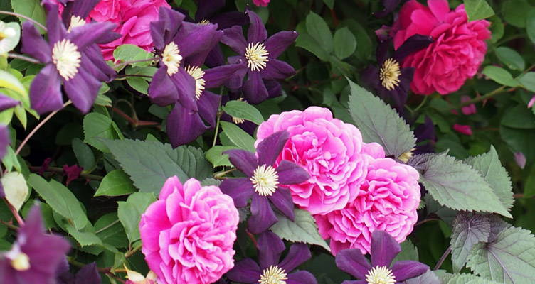 Combine Roses With Clematis