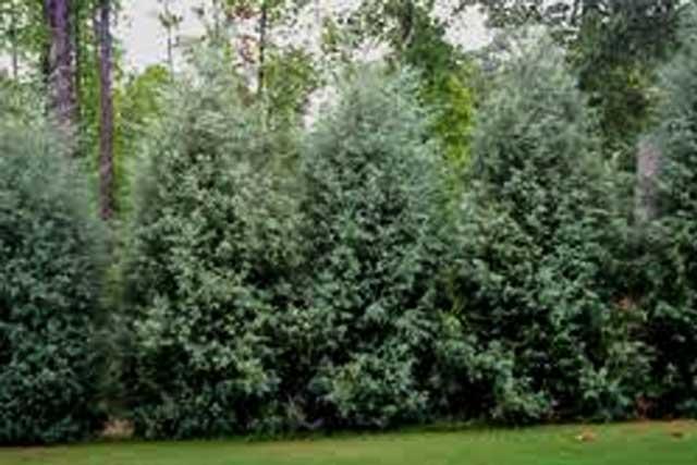 Carolina Sapphire Cypress