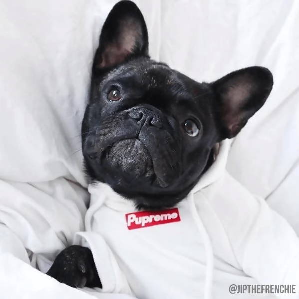 French Bulldog wearing Pupreme Dog Hoodie.