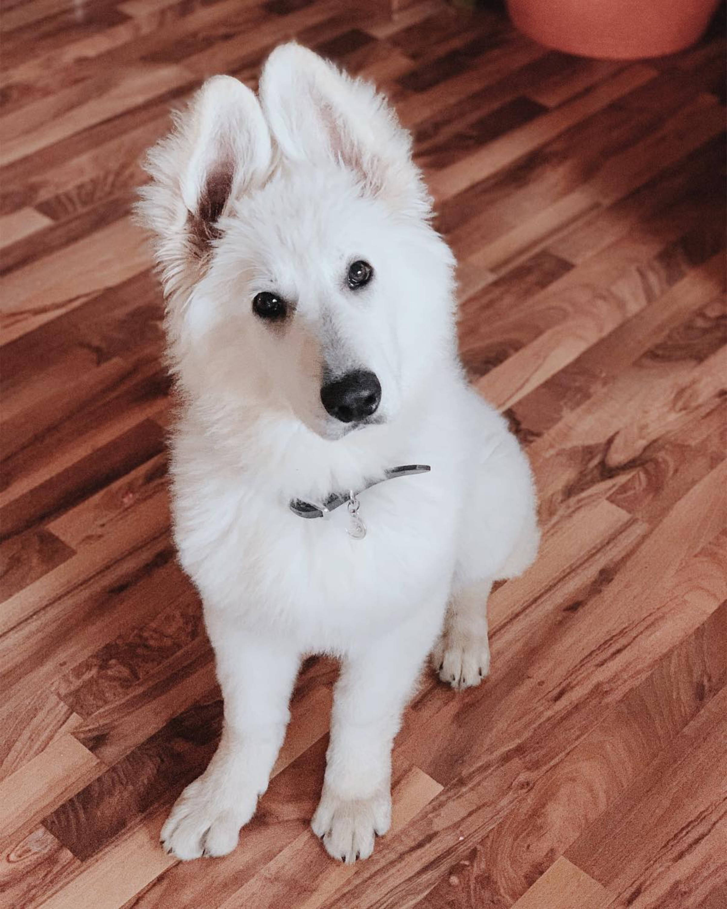cute white german shepherd puppy
