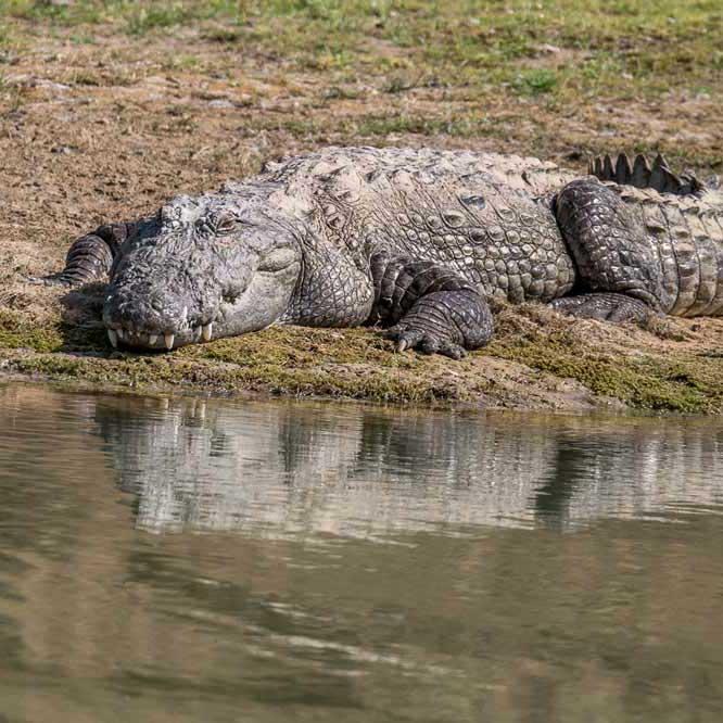 Travelbay India Tours - Customer Reviews - Simon & Gina in India - Chambal Safari marsh crocodile