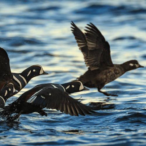 Sea Ducks Flying