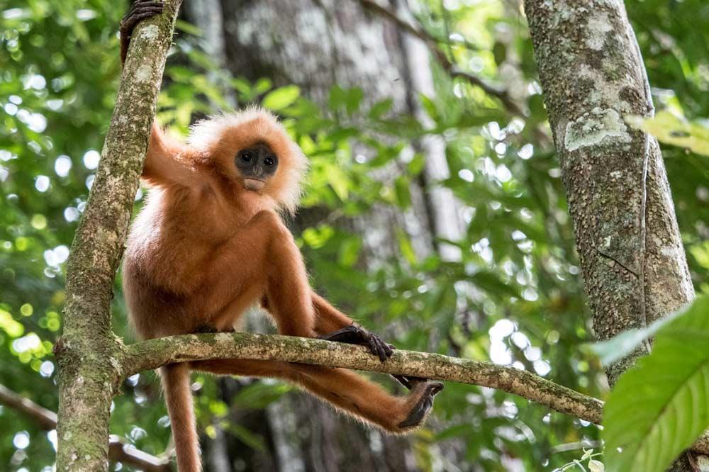 Travelbay Borneo Tours - Customer Reviews - Simon Collard - Danum Valley - Red-leaf monkey