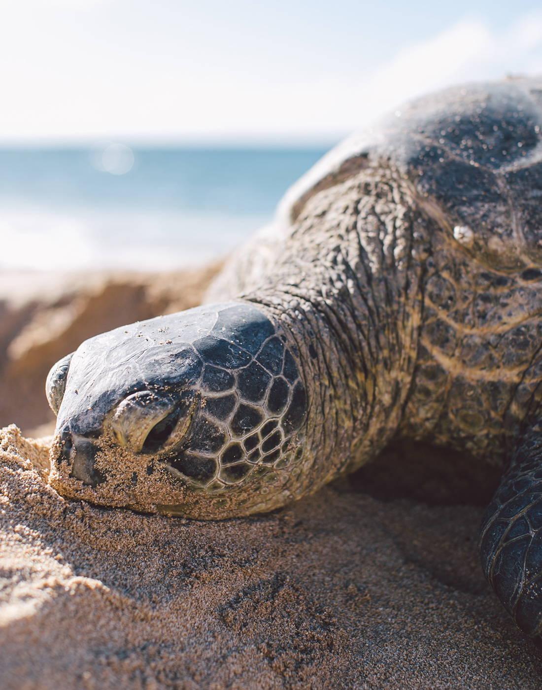 La Jolla sea turtle