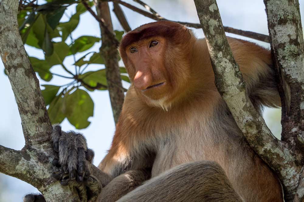 Travelbay Borneo Tours - Customer Reviews - Simon Collard - Kinabatangan River - Proboscis monkey