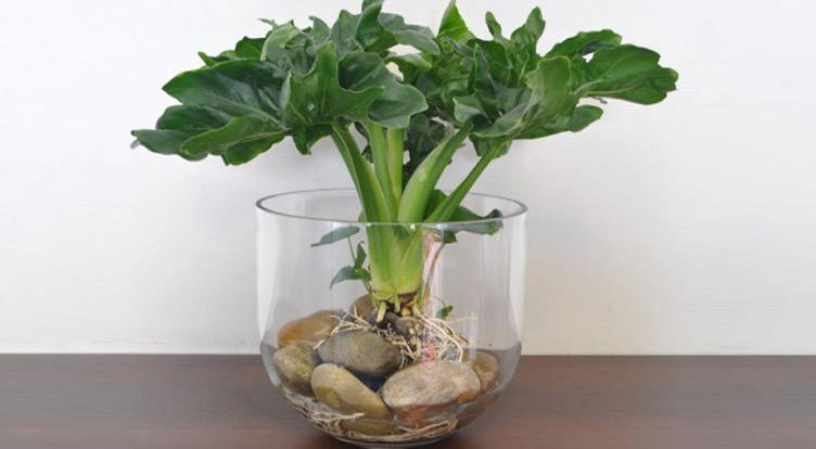 Philodendron als hydrocultuurplant