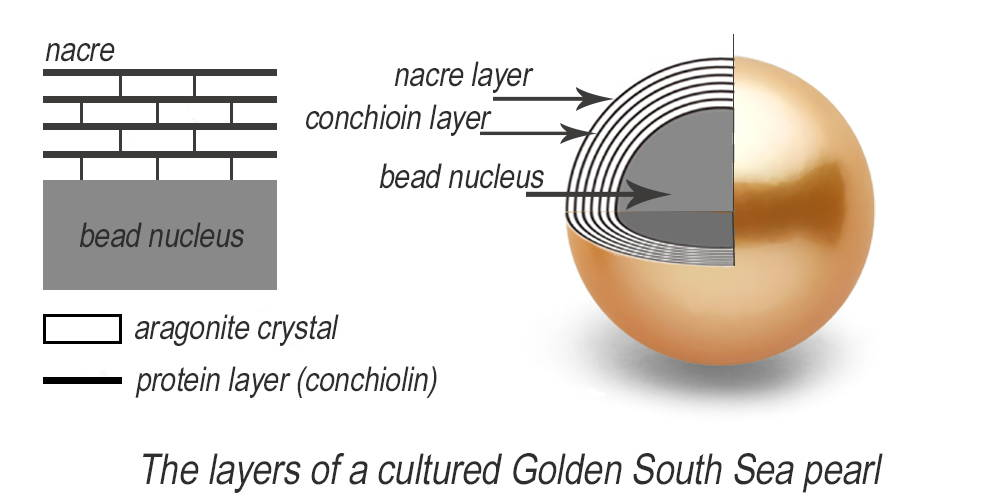 Golden South Sea cross section nacre layer breakdown