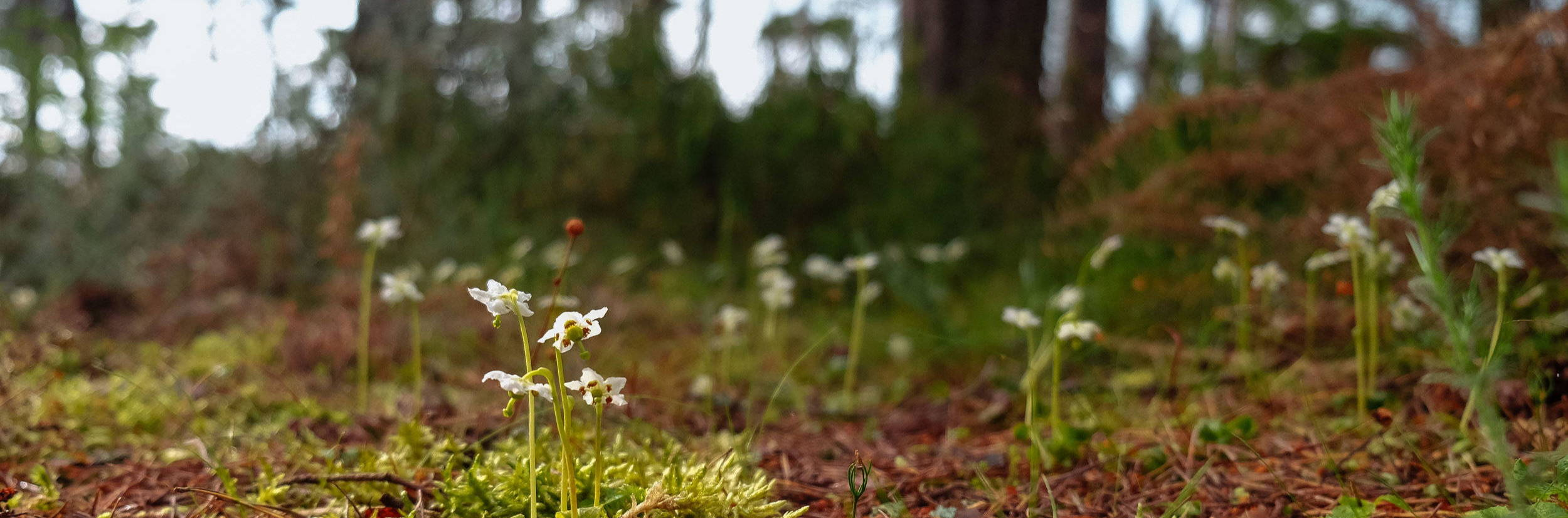 Pretty little white one-flowered wintergreen carpets the floor of an olde Caledonian Pinewood
