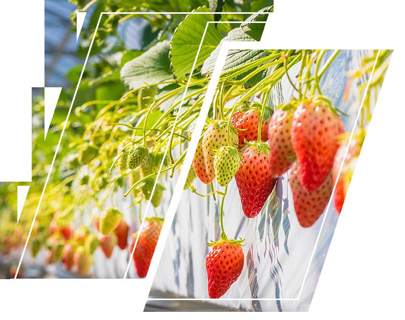 Strawberry field using ecogardener clear poly film