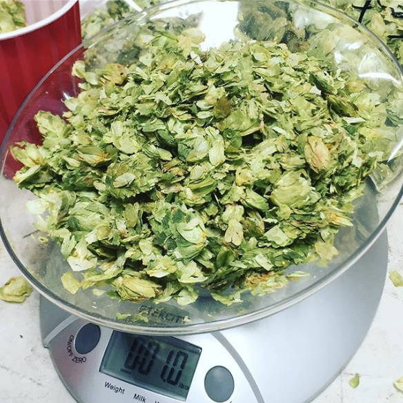 weighing out hop leaves on a scale