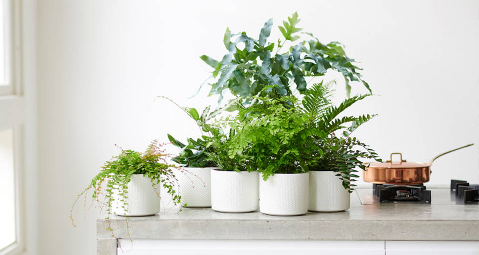 Zimmerpflanze: Farn