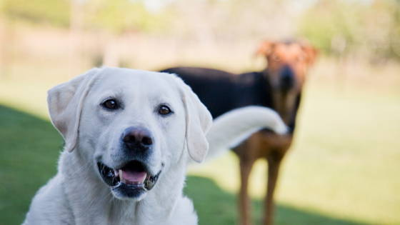 Big white lab in foreground, black and brown dog in background