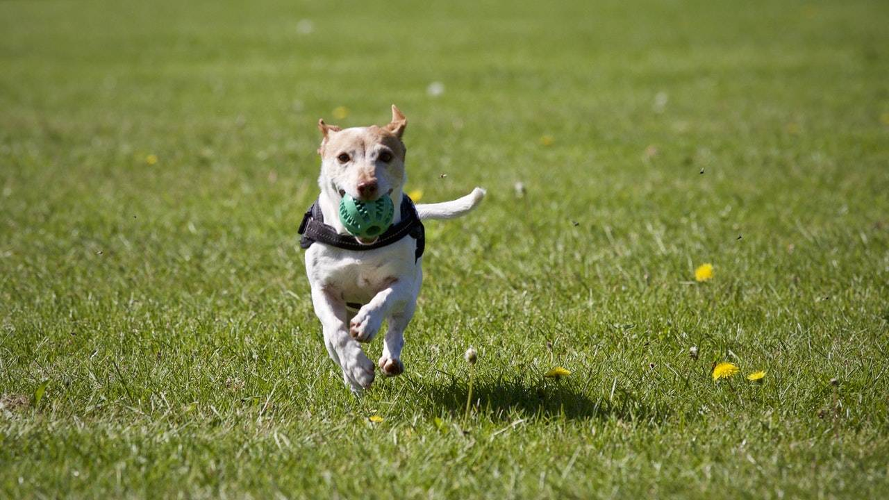 Dog Running On The Grass With Ball In Mouth