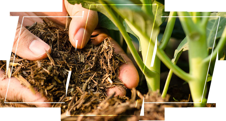 A person adding a fertilizer to a plant