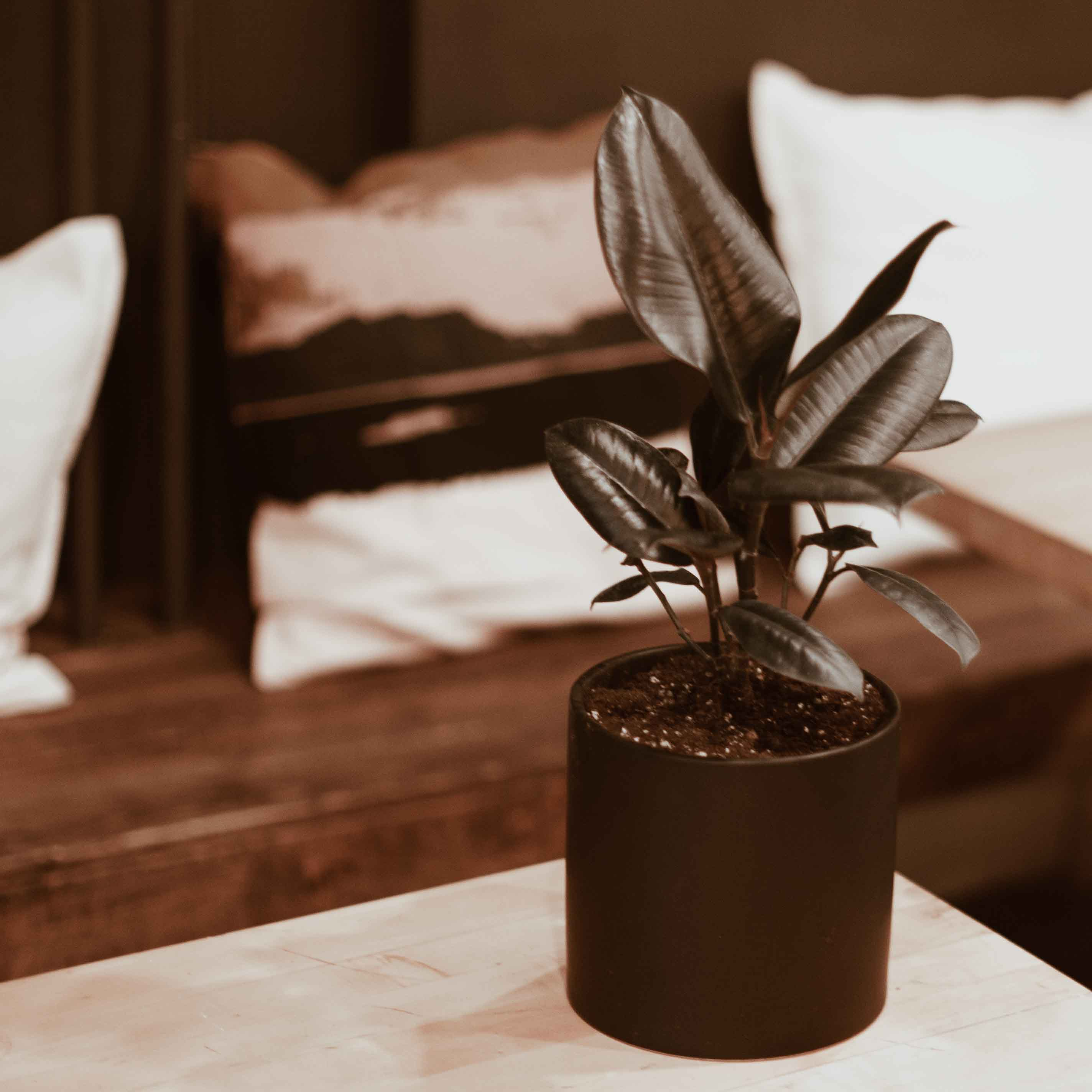 Rubber plant for delivery in Toronto