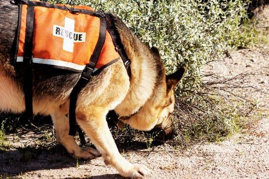A search & rescue dog sniffs a bush on a dirt path