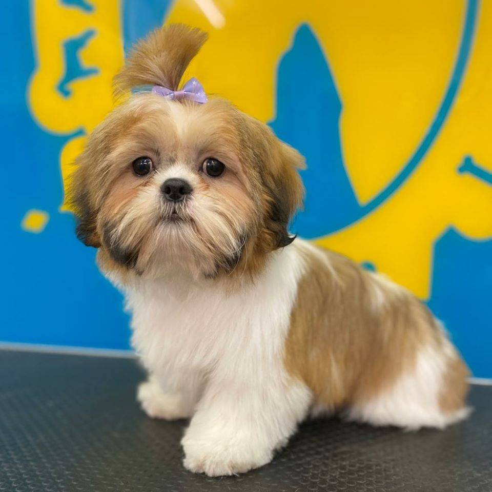 Bone Idol Brighton Dog Grooming, Puppy Package, Free Introduction To Puppy Grooming, New Puppy, Shih Tzu Puppy