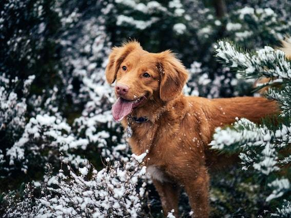 red dog in snow topped bushes