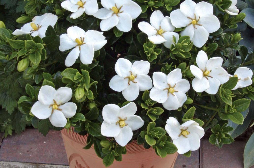 gardenias in pots