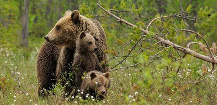A bear mother and her cubs in a meadow
