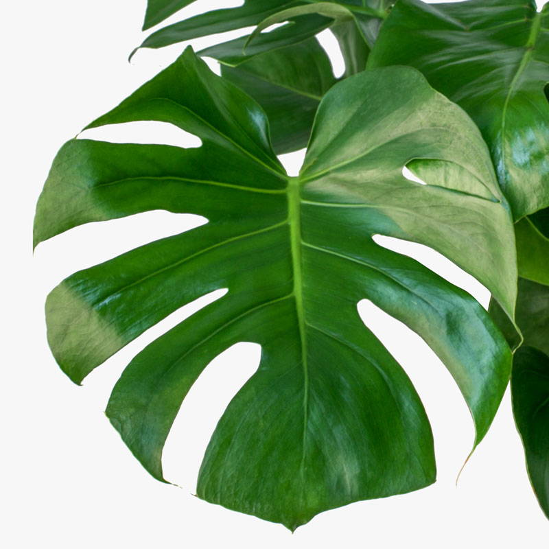 Monstera Deliciosa Leaf
