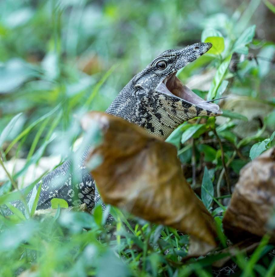 Travelbay Borneo Tours - Customer Reviews - Simon Collard - Selingan Island - water monitor lizard